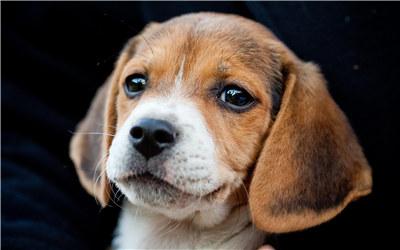 比格犬交配知识科普:比格犬多大可以进行交配?